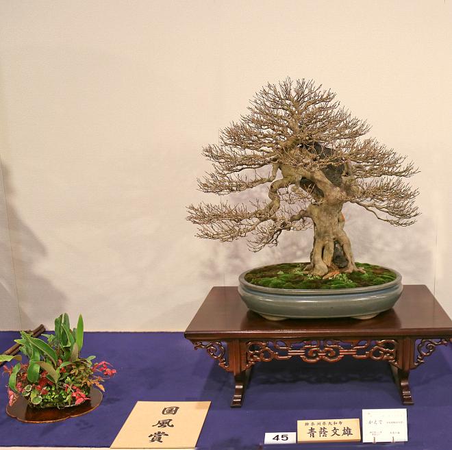 Kokufu Prize, 2016, Part 1: Trident maple (Acer buergerianum)