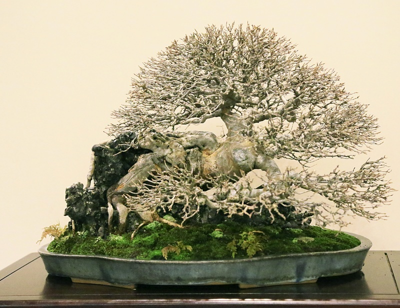 Root-over-rock style Trident maple displayed by Matt Ouwinga, Chicago, IL, USA at 2013 Kokufu Ten