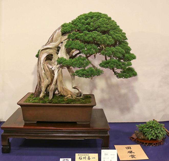 Kokufu Prize, 2016, Part 1: Sargent juniper (Juniperus chinensis)