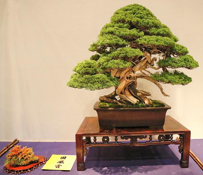 Kokufu Prize, 2016, Part 2: Sargent juniper (Juniperus chinensis)